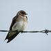 Northern Rough-winged Swallow / Stelgidopteryx serripennis