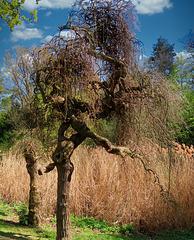 1 (41)...austria tree...baum
