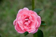 Rose-habitée