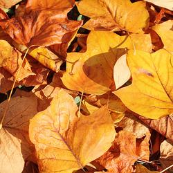 Rouges, jaunes, brunes, les feuilles dansent à l'automne !