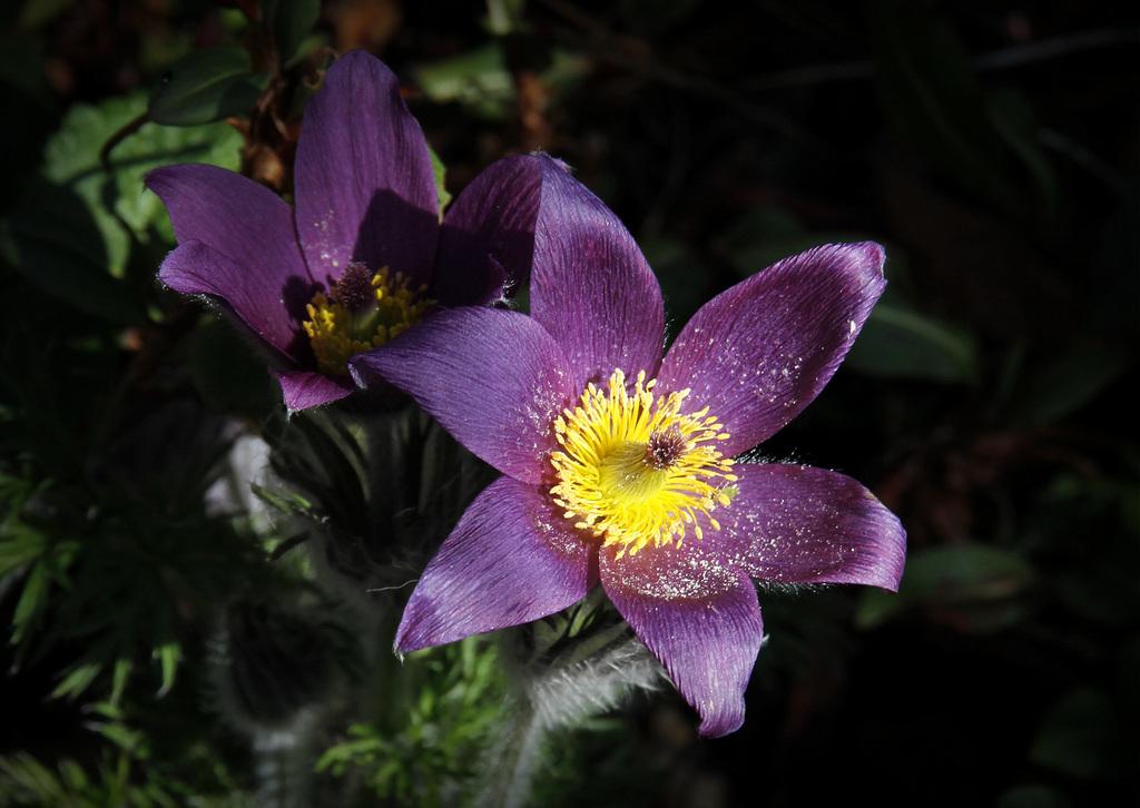 Une fleur par jour.... - Page 5 41509812.71b4ad6b.1024