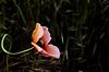 Einsame Mohnblume - Lonely poppy