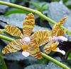 Phalaenopsis fassciata