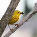 Yellow Warbler with food for his babies