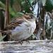 EOS 90D Peter Harriman 13 24 35 57361 sparrow dpp