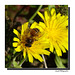 Les petites fleurs jaunes aussi ...