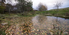 Autumn leaves have fallen - into the pond!