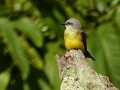 Tropical Kingbird / Tyrannus melancholicus, Tobago, Day 2