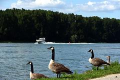 Kanadagänse am Rheinufer