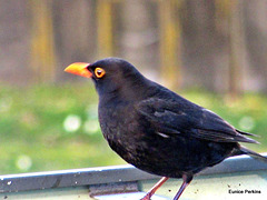 Blackbird Fly!