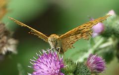 L'histoire du papillon qui se prenait pour un aigle !