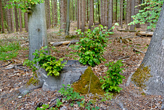 Von dem alten Baum, wachsen die jungen Bäume