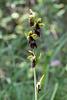 Ophrys insectifera - 2017-06-01_D500_DSC1767