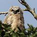 Adventurous little owlet