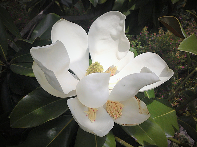 Magnolias fall quickly on hot days