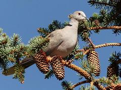 Eurasian Collared-Dove / Streptopelia decaocto