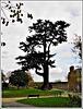 Au jardin Anglais à Dinan : le cèdre de l'himalaya