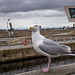 Gull at the waterfront, Liverpool