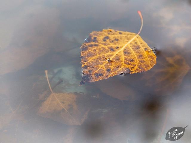 23/366: Golden Leaf on Pond