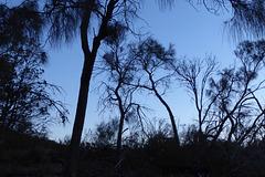 Sheoaks at dusk, Black Hill CP, 21 May 2017, P1070293 no edit