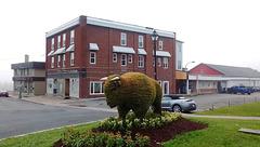 Bison tondu / Downtown unusual buffalo