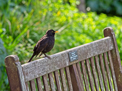 Happy (Blackbird on a) Bench Monday