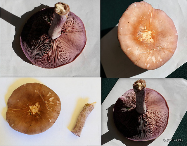 It's the season for wood blewits again...