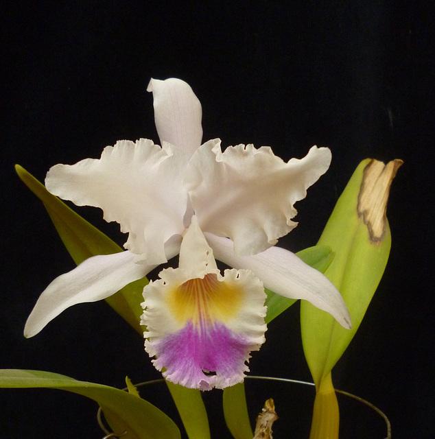 "Cattleya mendelii var. semi-alba ""Gnomos"""