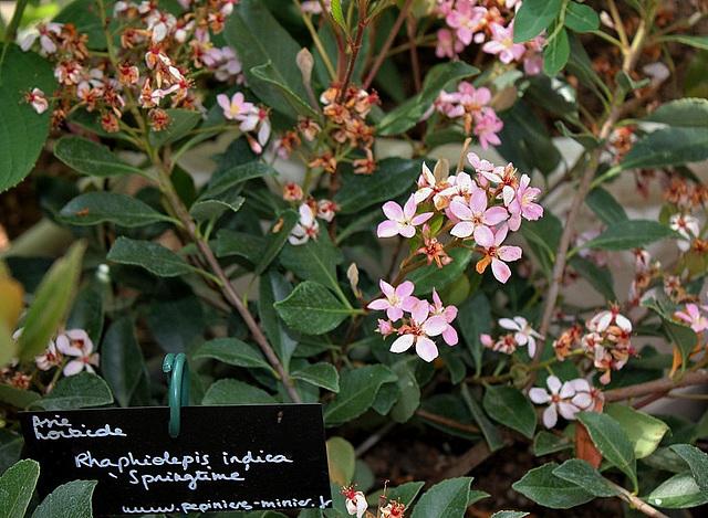 Raphiolepis indica springtime