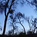 Sheoaks at dusk, Black Hill CP, 21 May 2017, P1070294 no edit