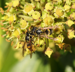 Wasps on ivy blossom