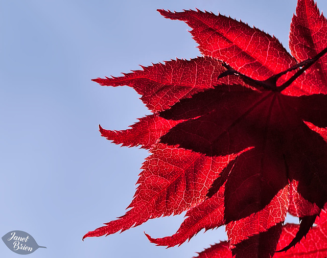 73/366: Glowing  Maple Leaves