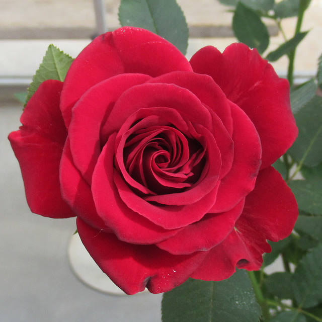 E like ELEGANT rose