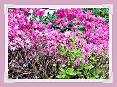 Chrysanthemums.