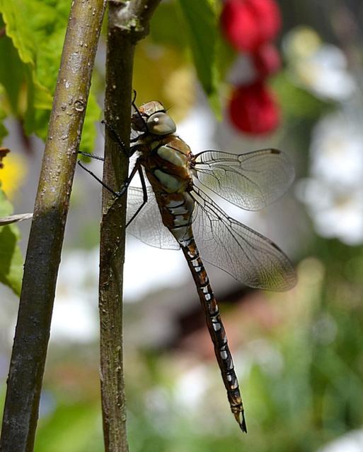 Dragonfly....Common Hawker (Aeshna juncea) female.