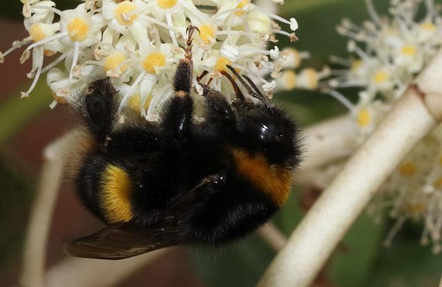 BumblebeeIMG 9012