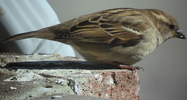 Nesting Sparrow