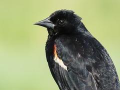 Red-winged Blackbird male