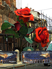 HFF.....Fence n' Roses  :)