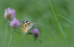 Painted lady ~ Distelvlinder (Vanessa cardui)...