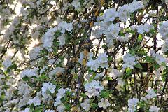 Blüten von einem sehr alten Streuobst Apfelbaum