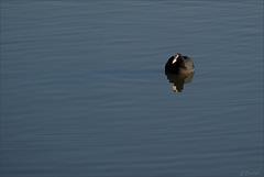 Foulque macroule (fulica atra) nageant nonchalamment.
