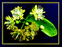 The lime trees bloom... ©UdoSm