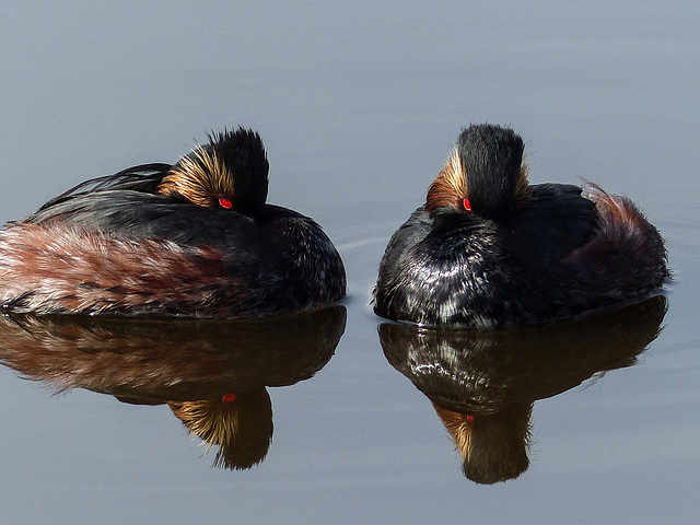 """Grebes with the red """"button"""" eyes"""