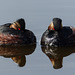 "Grebes with the red ""button"" eyes"