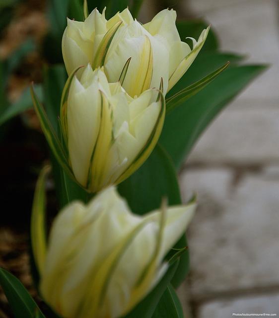 Rangée de blanc margées de vert