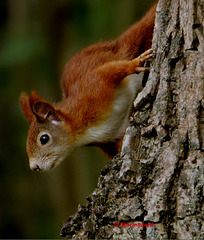 Mrs Red asks How are things on Ipernity - Red Tree Squirrel (Sc vulgaris)