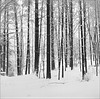 Lubitel trees