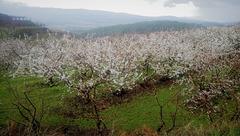 Cherry blossom of now.