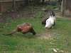 Friends, Pheasant and Chickens